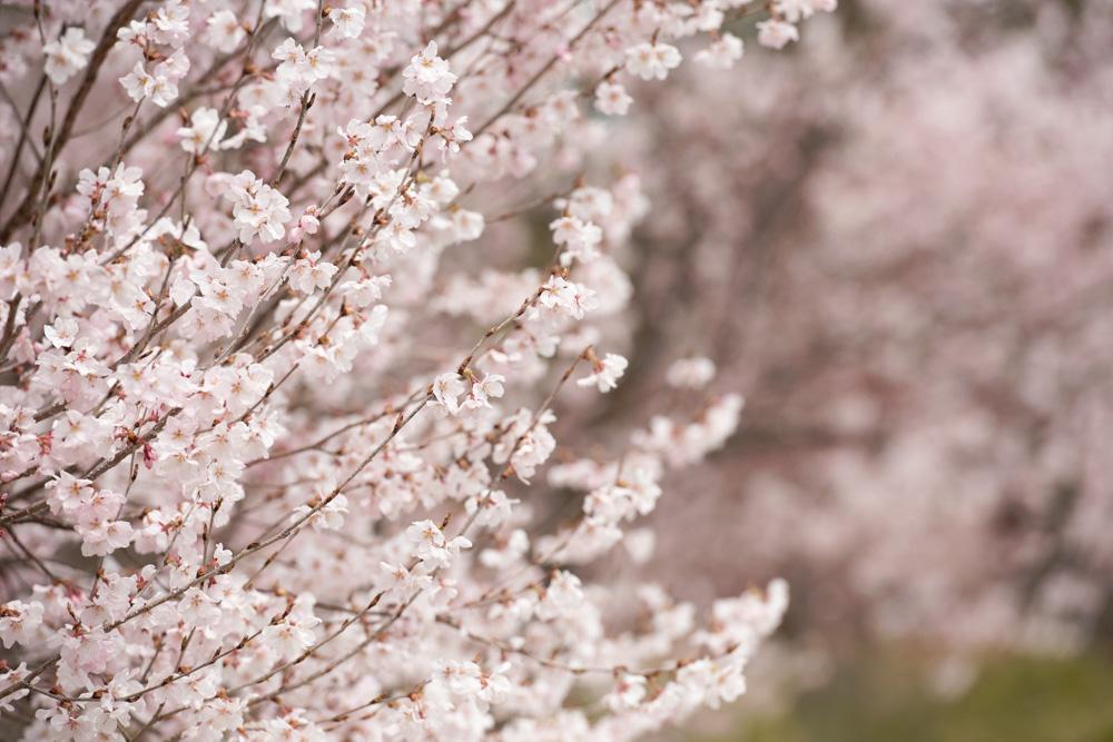 善光寺桜満開