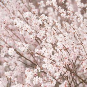 善光寺の桜満開